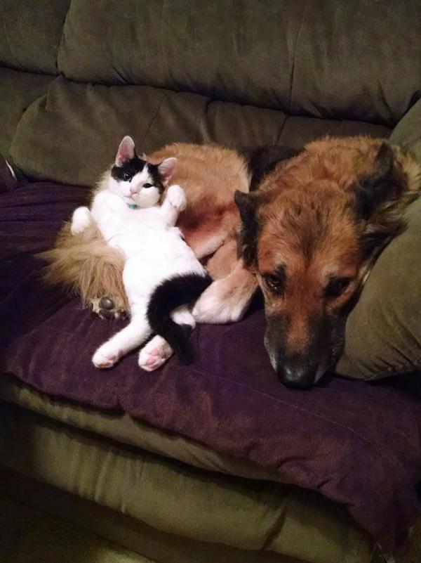 kitten and German shepherd