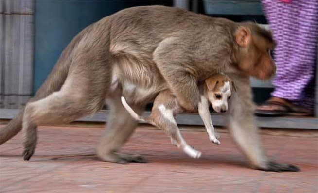 monkey adopts stray puppy