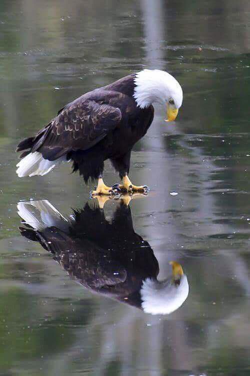 eagle reflection on ice