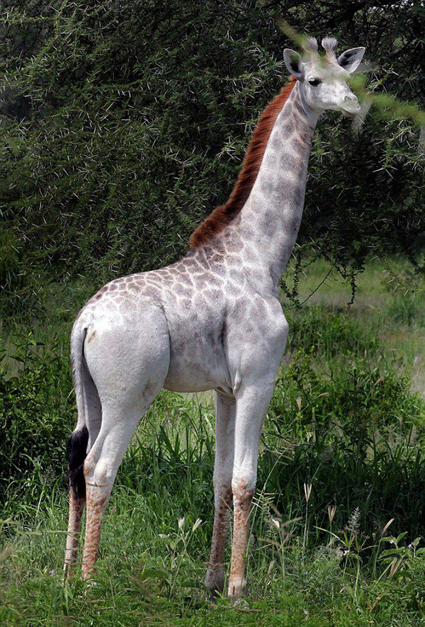 giraffe all white