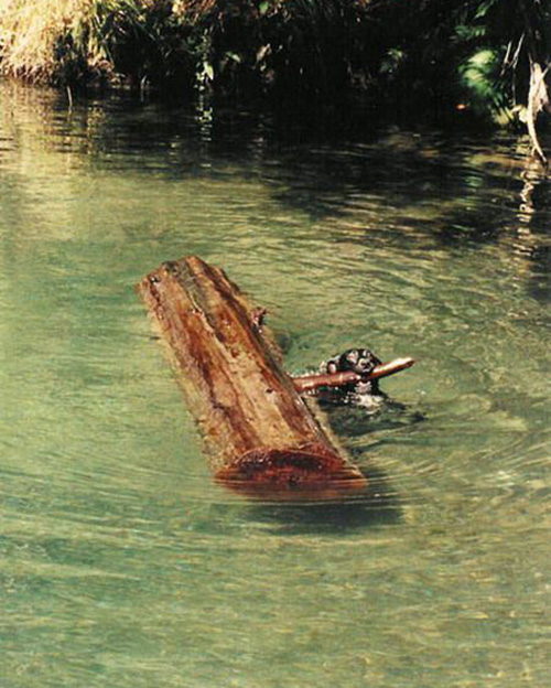 dog plays fetch giant stick in water