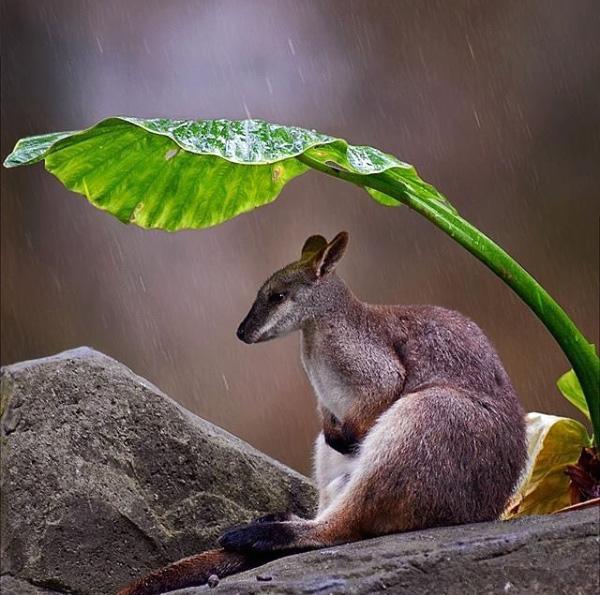 wallaby avoiding the rain