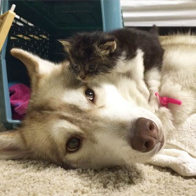kitten thinks she is a husky