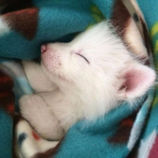 sleeping baby fox