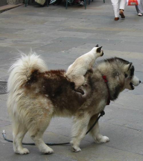 cat riding dog