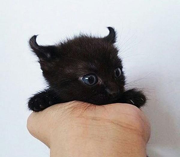 little devil kitten