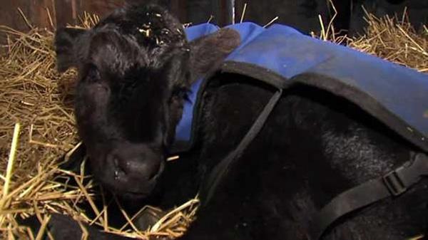 farmer saves cow calf hot tub