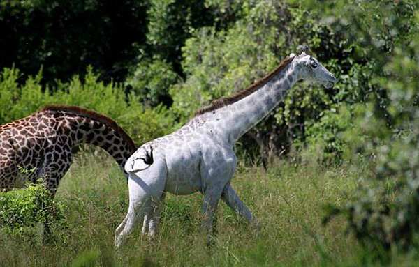 white giraffe africa