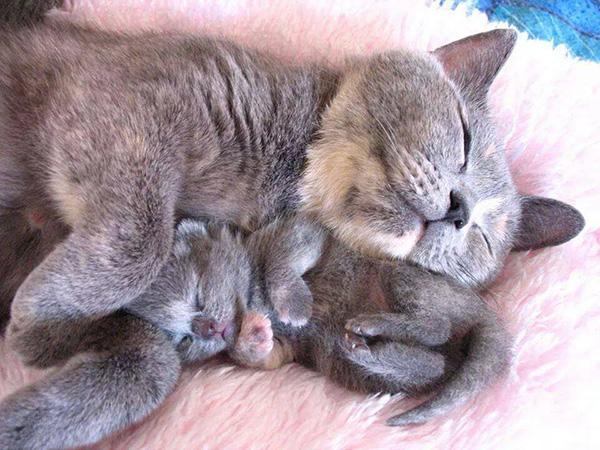 kitten sleeping with mom