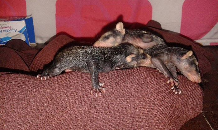 dog adopts opossum babies