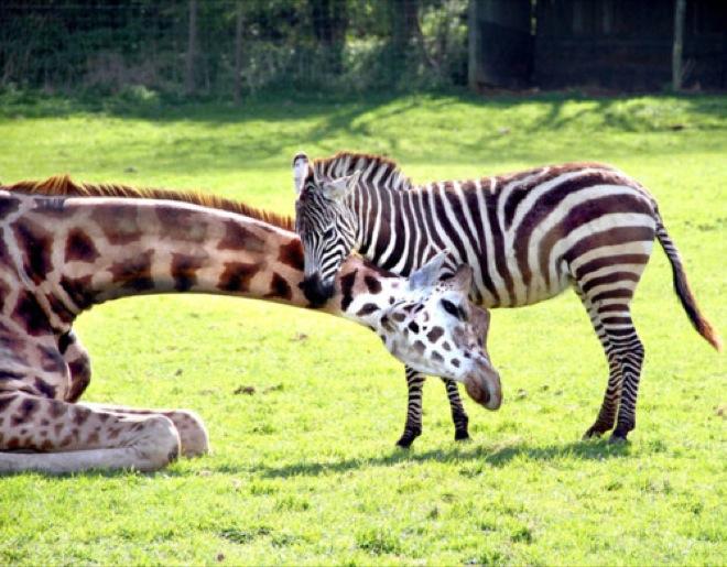 gerald the giraffe and zeberdee the zebra are best friends