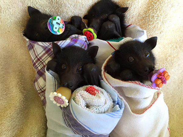 fruit bats pacifiers