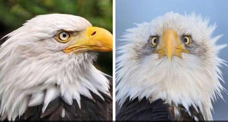 why bald eagle is always side view funny