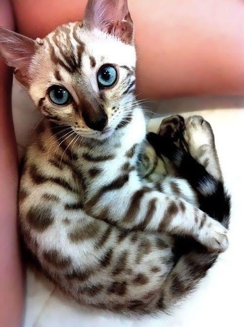 siamese bengal kitten