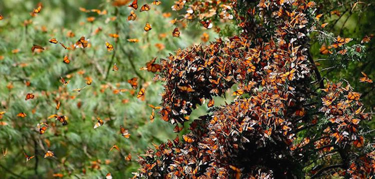 monarch butterfly population triples