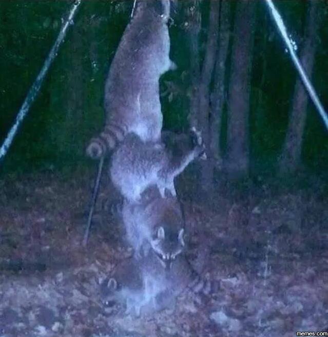 raccoon stack up for deer feeder