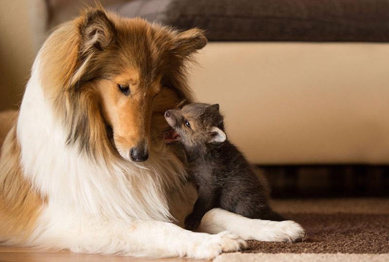 dog adopts baby fox