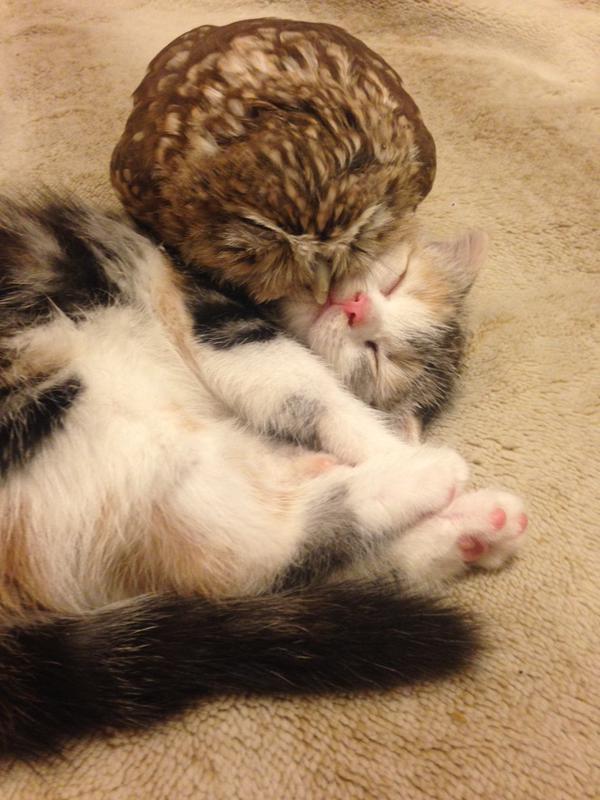 owl kitten snuggles
