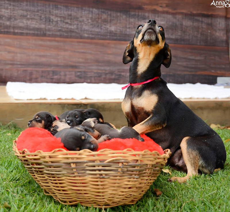 maternity dog shoot with puppies