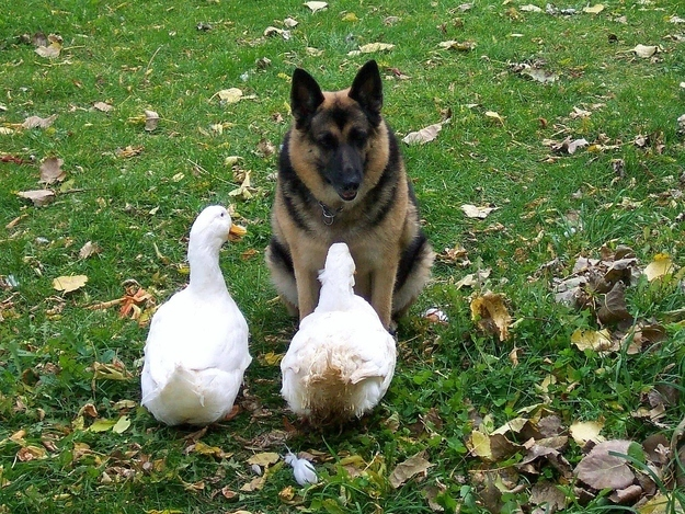 ducks and dog