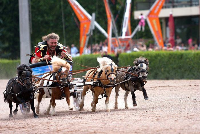 mini horses chariot racing