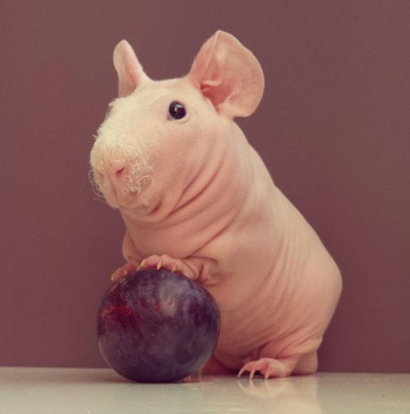 Naked Guinea Pig photo shoot