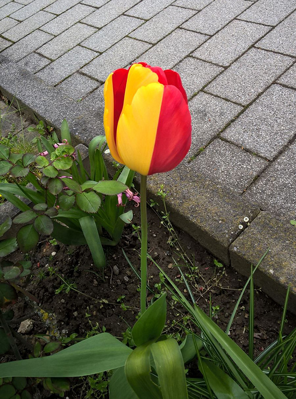 tulip chimera red and yellow