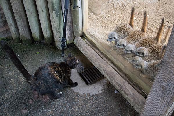 cat meerkats zoo