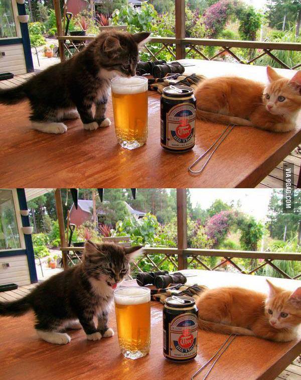 cat tastes beer reaction