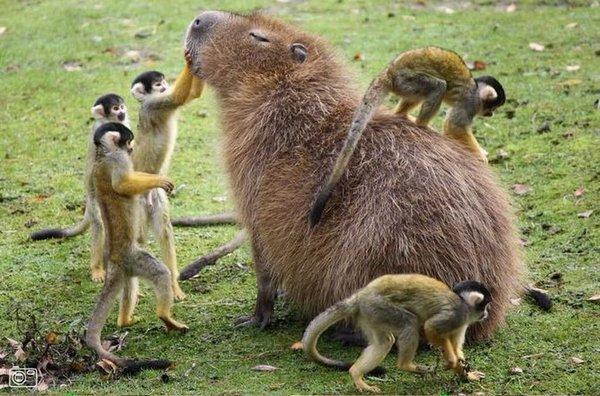 capybara monkeys
