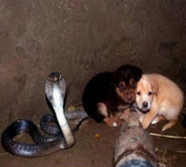 cobra protects puppies in a well