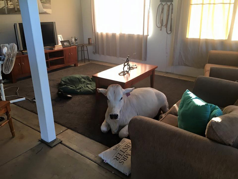 cow breaks into house