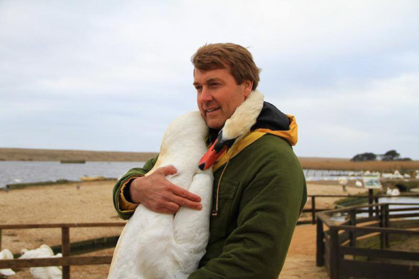 swan hugs man who saved him