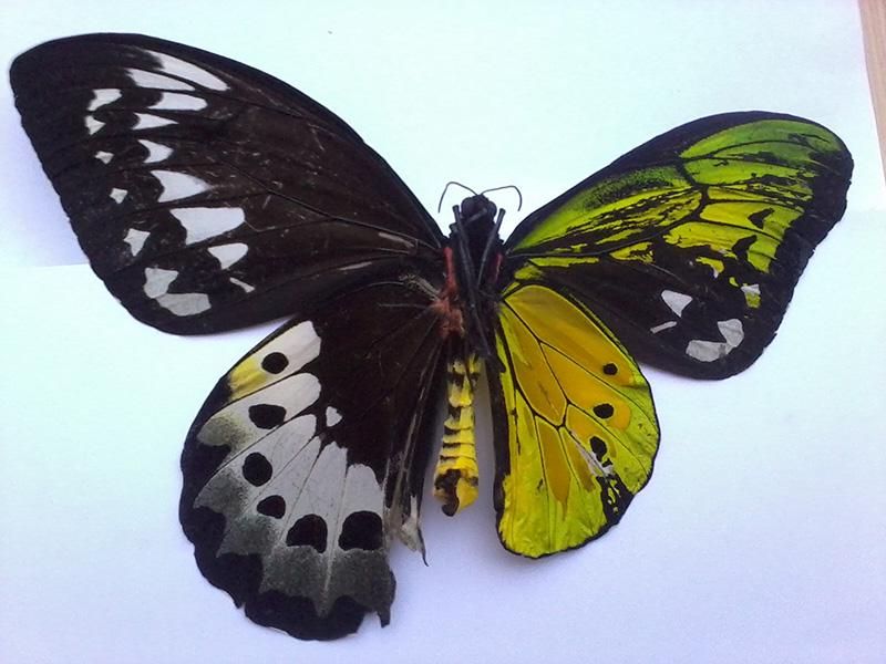 butterfly half male half female