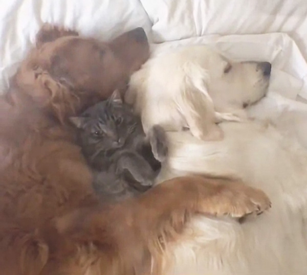 best friends nap together two dogs one cat