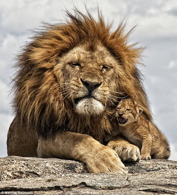 lion roar with dad