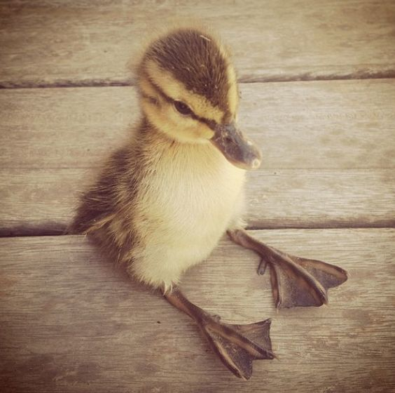 duckling sitting