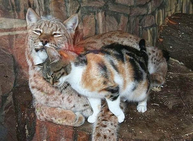 cat sneaks into zoo cuddles with lynx