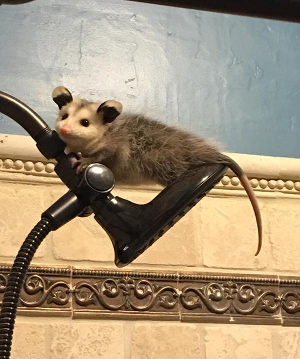 baby possum in house