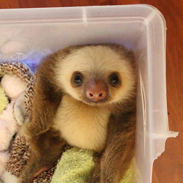 just a cute baby sloth in a box