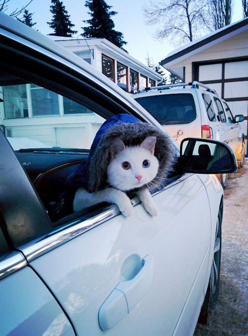 ready to go cat in car with hoody