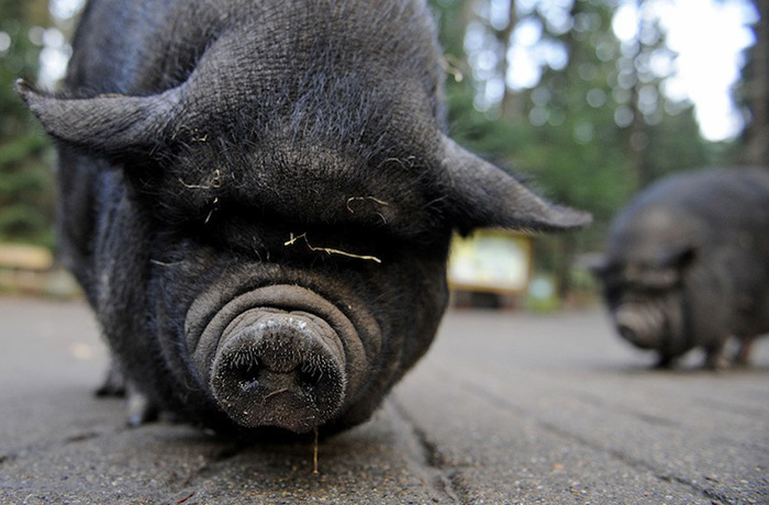 pig plays dead to save owner