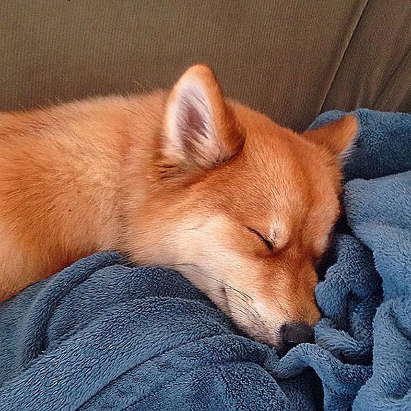 dog looks like a fox