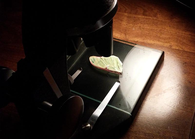 luna moth wing microscope