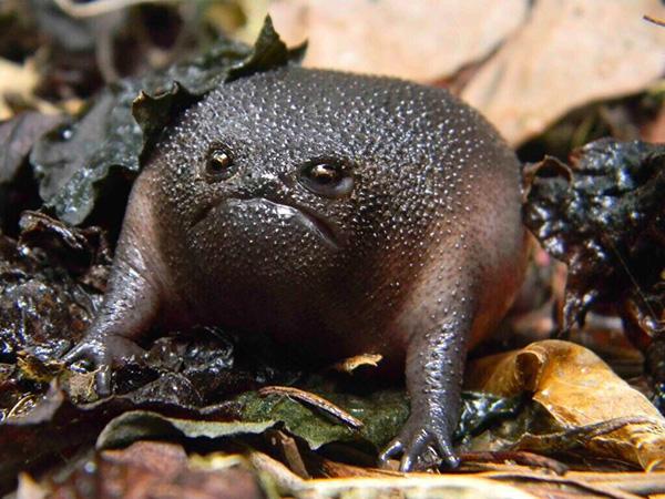 black rain toad