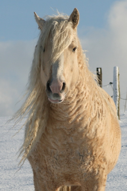 curly haired horses