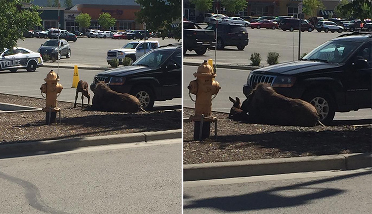 moose gives birth at Lowes paring lot