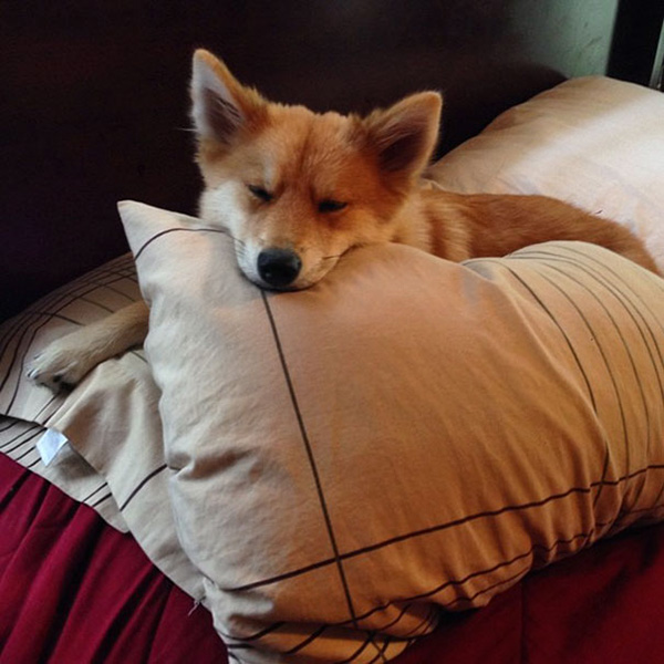 Meet Mya - The Dog Who Looks Exactly Like A Fox