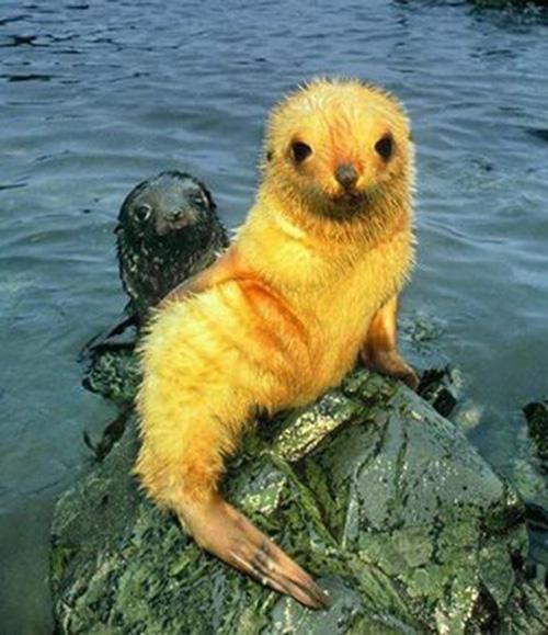 blonde seal