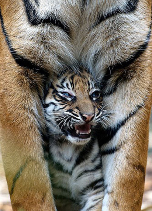 tiger cub with daddy